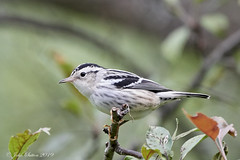 Black-and-white Warbler - Female (johnsutton580) Tags: corinth vermont unitedstates