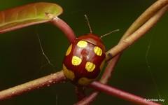 Leaf beetle, Platyphora sp. (In Memoriam: Ecuador Megadiverso) Tags: andreaskay beetle chrysomelidae coleoptera ecuador idbyjimmcclarin id577 leafbeetle platyphorasp