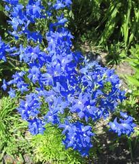 ** Delphiniums ** (Impatience_1) Tags: delphinium piedsdalouette fleur flower bleu blue m impatience supershot coth ngc coth5 sunrays5 wonderfulworldofflowers abigfave fantasticnature alittlebeauty npc fabuleuse