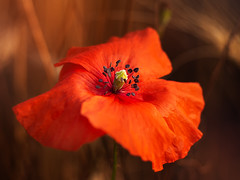 red.... (pomian31) Tags: flower head petal beauty in nature closeup plant no people freshness growth outdoors red focus on foreground summer blossom poppy full color walk meadows brown light sunlight bokeh background blur natural photography olympus camera trioplan50 beautiful