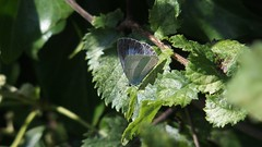 Holly Blue (Nick:Wood) Tags: hollyblue celastrinaargiolus knowle westmidlands butterfly insect nature wildlife