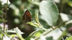 Gatekeeper (Nick:Wood) Tags: gatekeeper pyroniatithonus cuttlepoolnaturereserve warwickshirewildlifetrust templebalsall butterfly insect nature wildlife