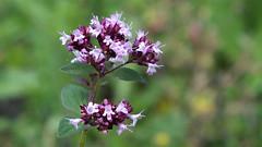 Wild Marjoram (Nick:Wood) Tags: wildmarjoram origanumvulgare cuttlepoolnaturereserve warwickshirewildlifetrust templebalsall wildflower nature