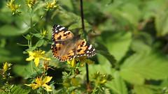 Painted Lady (Nick:Wood) Tags: paintedlady vanessacardui cuttlepoolnaturereserve warwickshirewildlifetrust templebalsall butterfly insect nature wildlife
