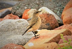 WHEATEAR F   EXPLORED (johnlivesley) Tags: