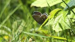 Common Blue (Nick:Wood) Tags: commonblue polyommatusicarus female cuttlepoolnaturereserve warwickshirewildlifetrust templebalsall butterfly insect nature wildlife