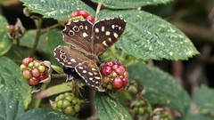 Speckled Wood (Nick:Wood) Tags: speckledwood parargeaegeria cuttlepoolnaturereserve warwickshirewildlifetrust templebalsall butterfly insect nature wildlife