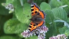Small Tortoiseshell (Nick:Wood) Tags: smalltortoiseshell aglaisurticae barston westmidlands butterfly insect nature wildlife