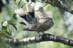 Preening (tanith.watkins) Tags: dove preening care flickrfriday ringneckeddove