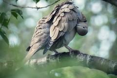 Preening (tanith.watkins) Tags: cherrytree bird preening ringneckeddove