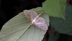 Mother Of Pearl (Nick:Wood) Tags: motherofpearl pleuroptyaruralis barston westmidlands moth nature insect wildlife
