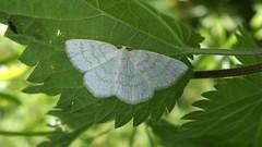 Common Wave (Nick:Wood) Tags: commonwave caberaexanthemata cuttlepoolnaturereserve warwickshirewildlifetrust templebalsall moth insect nature wildlife