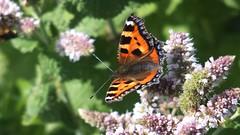 Small Tortoiseshell (Nick:Wood) Tags: smalltortoiseshell aglaisurticae barston westmidlands butterfly insect wildlife