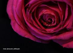 Love you (Nourah.A.Edhbayah (Super Flower♥إظبيه)) Tags: nourah abdullah edhbayah q8 kuwait نوره عبدالله اظبيه الكويت