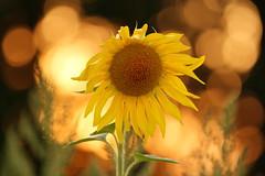 IMG_7538 (geraldtourniaire) Tags: sonnenuntergang natur nature eos6d ef ef40300lusm bokeh blume licht l beyondbokeh