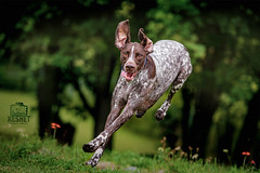 Picture of the Day (Keshet Kennels & Rescue) Tags: adoption dog dogs canine ottawa ontario canada keshet large breed animal animals kennel rescue pet pets field nature summer photography german shorthair shorthaired pointer athletic touch down one foot leap jump grass green lush floppy ears