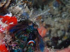 P7101149 (Karsten Kretz) Tags: unterwasser underwater indonesien sulawesi donggala tanjung karang prince john dive resort mantis mantisshrimp shrimp