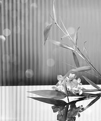 Still life with bamboo (Elisafox22) Tags: elisafox22 sony ilca77m2 100mmf28 macro macrolens telemacro lens hmbt monochromebokehthursday monochrome monotone postprocessing photoshop hydrangea glass table bamboo leaves reededglass bokeh indoors elisaliddell©2019
