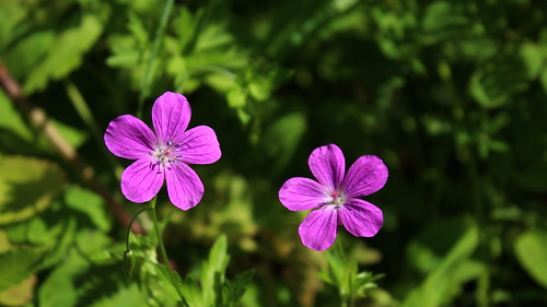 Wood cranesbill ©  Егор Журавлёв