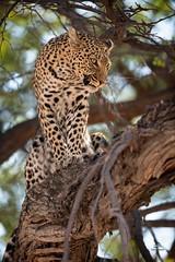 Snarling Leopard (Glatz Nature Photography) Tags: africa nature animal wildlife wildanimal botswana nikond850 glatznaturephotography khwaicamp teeth leopard predator bigcats pantherapardus okavangodelta deltafemale