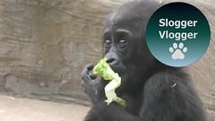 Adorable Thandie The Baby Gorilla (SloggerVlogger) Tags: adorable thandie the baby gorilla