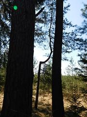 Der Dünne zwischen den Dicken..... (elisabeth.mcghee) Tags: vogelfreistätte groser rusweiher wasser water see lake eschenbach oberpfalz upperpalatinate bäume trees wald forest krumm
