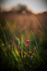 Bunde Wischen - before and after flowering (Fichtenelch69) Tags: bloom blüte bokeh bundewischen dof flensburg flower fujifilm gras haiku haikufotografie schleswigholstein wiese grass natur nature