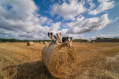 Hay! (FireDevilPhoto) Tags: agriculture bale ruralscene field farm hay nature summer harvesting outdoors crop straw sky meadow landscape nonurbanscene yellow wheat cloudsky landscaped dog bordercollie red merle blue pet animal sun sunny weather england cheshire sony a9 laowa wide angle