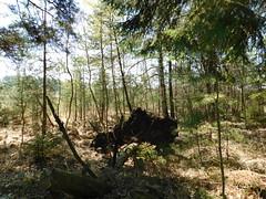 ...umgestürzt... (elisabeth.mcghee) Tags: vogelfreistätte groser rusweiher wasser water see lake eschenbach oberpfalz upperpalatinate wald forest bäume trees