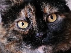 La mia gattona (claudio.feleppa) Tags: gatto cat panasonic dcg9 lumixg9eolympusmzuikodigitaled75mmf18 lumixg9 olympusmzuikodigitaled75mmf18 micro43 inexplore cateyes occhidigatto