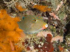 Canthigaster papou (Denis Fiel) Tags: canthigaster papou papua papuan toby raja ampat indonésie indonesia fish poisson