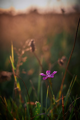 Bunde Wischen - Purple Star (Fichtenelch69) Tags: sunset sunlight nature field dof haiku natur wiese bloom fujifilm blume blüte matte schleswigholstein flensburg haikufotografie bundewischen