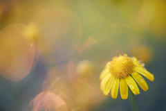 Flower (generalstussner) Tags: flower blume bokeh dof movement natur nature macro makro green yellow canon artistic