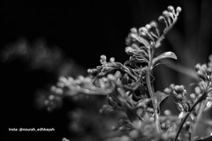 B&W (Nourah.A.Edhbayah (Super Flower♥إظبيه)) Tags: نوره عبدالله اظبيه الكويت nourah abdullah edhbayah q8 kuwait
