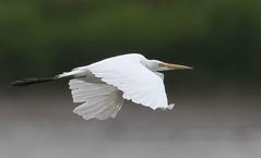 Great Egret (gary_photog) Tags: wildlife arkansas greategret bif fantasticnature baldknobnwr nikon500mm4e nikond850 specanimal coth5 alittlebeauty ngc