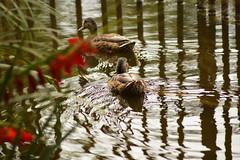 Sillage (Jessica Goudal) Tags: oiseaux bird nature plume bec canard lac eau sable