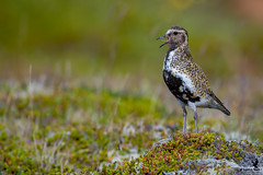The call of the plover - European Golden Plover (Osprey-Ian) Tags: europeangoldenplover iceland