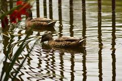 Barbotage paradisiaque (Jessica Goudal) Tags: oiseaux bird nature plume bec canard lac eau sable