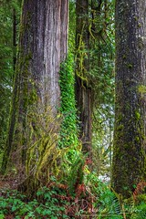 Ferns Moss And Tree Trunks (rebeccalatsonphotography) Tags: quinault rainforest nationalpark olympicnationalpark washington washingtonstate green moss ferns trees scenery landscape canon rebeccalatsonphotography 5ds 1635mm