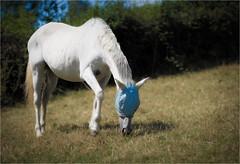 Fly Mask (Fitzpaine) Tags: horse whitehorse staplefitzpaine westcountry somerset england equestrian flies flymask masked graze grazing countryside davidjdalley uk xt2 fujifilmxt2 mask summer