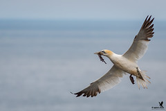 Northern Gannet (Osprey-Ian) Tags: northerngannet iceland
