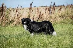 Rian 🐾 (unbunt.me) Tags: lrcc aussie fujifilm australianshepherd fujixpro2 fuji dog hoffnungs hund