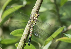 N S August 2019 Southern Hawker