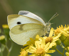 N S August 2019 Small White posing