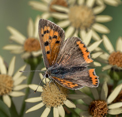N S August 2019 Small Copper