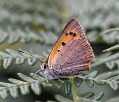 N S August 2019 Small Copper posing