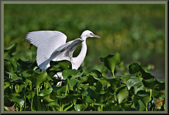 Mikey likes it (WanaM3) Tags: wanam3 nikon d7100 nikond7100 texas pasadena clearlakecity horsepenbayou bayou outdoors waterhyacinth invasivespecies wildlife nature naturephotography animal bird heron littleblueheron juvenile egrettacaerulea