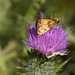 Poanes zabulon, Cirsium vulgare, Family Thomisidae
