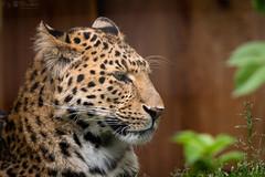 Leopard (Cloudtail the Snow Leopard) Tags: leopard tier animal mammal säugetier katze cat feline gros big raub beutegreifer panthera pardus chinaleopard nordchinesischer japonensis north chinese northchinese china zoo stadtgarten karlsruhe