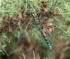 N S August 2019 Southern Hawker posing
